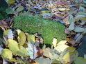 Mechový bobek v podzimním listí.