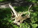 Osamělý kořen z vývratu hned vedle cesty.