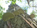 Choroše napadají strom ve Vrapači.