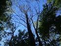V květnu lze ještě v lužních lesích pohlédnout na oblohu, po rozvinutí listů na všech stromech to již tak snadné není.