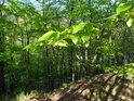Mladé bukové listy hýří jasnou zelenou barvou.
