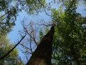 Buky s listím více spěchají, než okolní stromy.