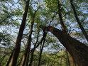 Stromy tu rostou na drolícím se podloží, pak dochází k tomu, že pevně zakořeněné stromy drží takové, co pod nimi svah ujíždí.