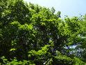 Javory na straně lesa mají více světla.