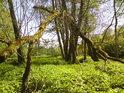 Popadané kmeny i větve stromů se snažily obnovit život, ale to již nastoupily mechy a ty se již svou činností postaraly o opak.