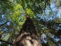 Borovice mírně prohnutá, s dojmem listí ve své koruně.
