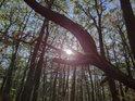 Lesní Slunce za bukovými pahýly.