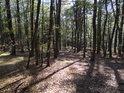 Mladý bukový les.