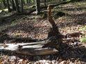 Pahýl kořene po vyvráceném buku.