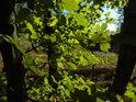 Mladé bukové listy zalité paprsky babího léta.