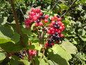 Dvoubarevné plody jsou pastvou pro oči.