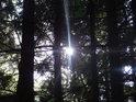 Sluneční paprsky pronikají přes temný smrkový les na vrcholu Žákovy hory.