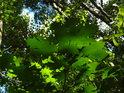 Javorové listy zrovna na slunečním svitu.