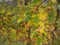 Dubový začínající podzim.