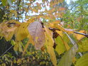 Třešnový podzim.