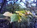 Bukové listí na podzim je jak výstup od kouzelníka.