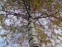 Kombinace podzimních barev břízy.