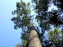 Hezký kmen dubu je poněkud v nesouladu s jednostrannou korunou.