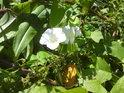 Kvetoucí svlačec.