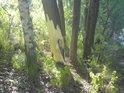 Bobři se hlásí okusem stromů, jsme blízko řeky Moravy a tam jich žije skutečně dost.