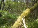 Zpola padlý kmen na břehu tůně u Moravičanského jezera obrůstá mechem.