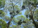 Pohled do korun stromů zaujme ponejvíce parazitickým jmelím.