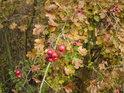 Hloh svou barvou ještě více oživuje podzim.