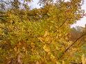 Dokonce i dubové listí dokáže oslnit.