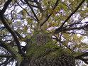 Dub, kterému hledíme do koruny je poněkud divokého vzezření.