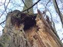 Když hlavní část kmene podlehne povětrnostním vlivům a zůstane jen ta vedlejší, vzniká zajímavý stromový útvar.