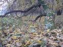 Když ještě ležící strom zapustí kořeny z kmene, může stále žít, jen to není co bývalo.