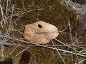 Uschlý bukový list na mechem porostlém balvanu.