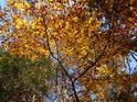 Do podzimu zbarvené bukové listí.