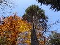 Smrky doplňují svou stabilní zelení proměnlivou barvu bukového listí.
