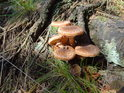 Kořeny stromů si nemohou být jisté před usazením hub, které si opravdu hodně energie usurpují pro sebe.