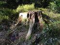 Osamělý pařez se pomalu ztrácí v borůvčí a les jej vůbec začíná pohlcovat.