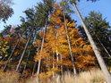 Pro okolí typický podzimní obraz kontrastu barvy bukového listí se stálou smrkovou zelení.