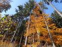 Pokochejme se barevným kontrastem bukového listí se stálou smrkovou zelení.