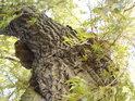 Smuteční vrby bývají napadeny chorošem stejně jako většina druhů stromů.