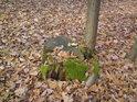 Vypadá to, že dřevorubec dal mladému stromku žít, ale to kořání se prostě muselo přizpůsobit stávajícím podmínkám.