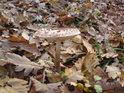 Bedla je jedlá nejen svým botanickým názvem.