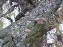 Dřevokazné houby na nemocné větvi smuteční vrby.