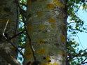 Lišejníky si po zimě přilepšily pozicemi na jinak zdravých stromech.