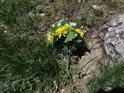 Plastová květina u kořene javoru zasaženého bleskem.
