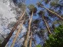 Vlnící se borovice s bukovým podrostem.