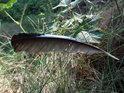 Pírko z divokého holuba uvízlo na trávě tak, že se může zdát, jako by bylo zachyceno v letu.